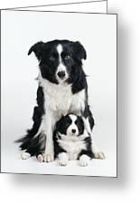 Border Collie Dog & Puppy Greeting Card