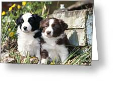 Border Collie Dog, Two Puppies Greeting Card