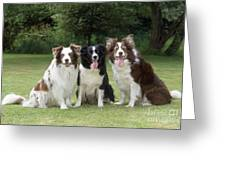 Border Collie Dogs Greeting Card