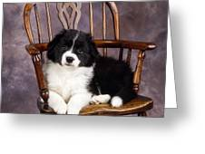 Border Collie Puppy On Chair Greeting Card