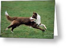 Border Collie Running Greeting Card