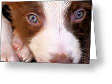 Border Collie Tan And White Pup Greeting Card