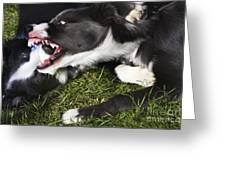 Border Collies Playing Greeting Card