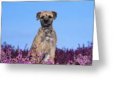 Border Terrier Dog, In Heather Greeting Card