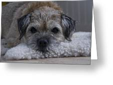 Border Terrier Netherlands Greeting Card