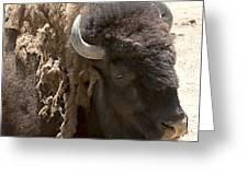 Bored Buffalo Greeting Card