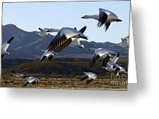Bosque Del Apache Snow Geese In Flight Greeting Card by Bob Christopher