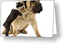 Boston Terrier And Mastiff Greeting Card