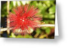 Powder Puff Flower With Bees Greeting Card