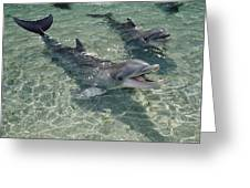 Bottlenose Dolphin In Shallow Lagoon Greeting Card