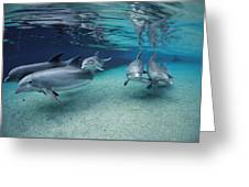 Bottlenose Dolphins In Shallow Water Greeting Card