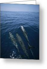 Bottlenose Dolphins Surfacing Shark Bay Greeting Card