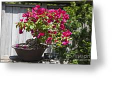 Bougainvillea Bonsai Tree Greeting Card