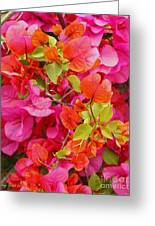 Bougainvillea Multi-colored Flowers Greeting Card
