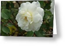Bountiful White Rose... Greeting Card