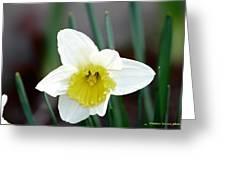 Bowed Daffodil Greeting Card