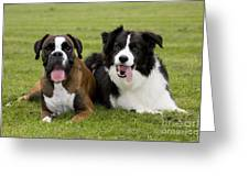 Boxer And Border Collie Greeting Card