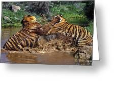 Boxing Bengal Tigers Wildlife Rescue Greeting Card