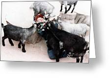 Boy Surrounded By Hungry Goats Greeting Card
