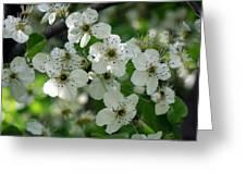 Bradford Pear Blooms Greeting Card