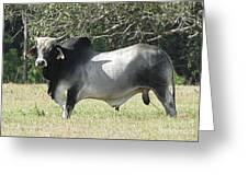 Brahama Bull Greeting Card