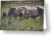 Brahman Cattle At The Waterhole Greeting Card
