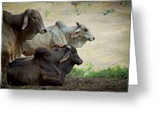 Brahman Cattle Greeting Card by Peggy Collins