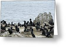 Brandt's Cormorant Colony At Point Lobos State Natural Reserve Greeting Card