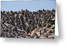 Brandts Cormorant Colony Greeting Card