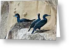 Brandts Cormorant Nesting On Cliff Greeting Card