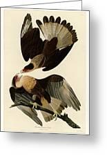 Brasilian Caracara Eagle Greeting Card