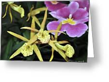Brassolaelia Yellow Bird And Pink Miltoniopsis  Greeting Card