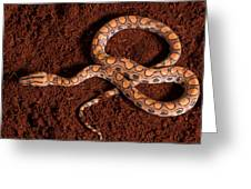 Brazilian Rainbow Boa Greeting Card