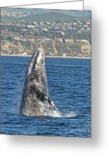 Breaching Gray Whale Greeting Card