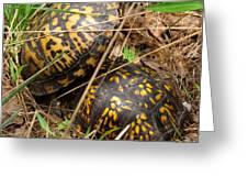 Breeding Box Turtles Greeting Card