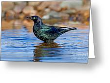 Brewers Blackbird In Water Greeting Card