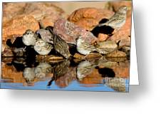 Brewers Sparrows At Waterhole Greeting Card
