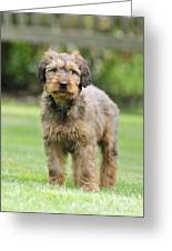 Briard Puppy On Grass Greeting Card