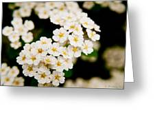 Bridal Veil Spirea Greeting Card