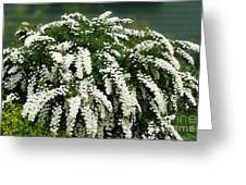 Bridal Wreath Spirea - White Flowers - Florist Greeting Card