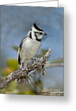 Bridled Titmouse Greeting Card