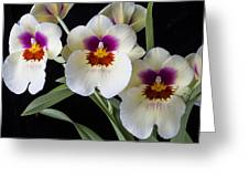 Bright Miltonia Orchids Greeting Card