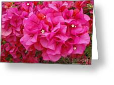 Bright Pink Bougainvillea Flowers Greeting Card