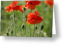 Bright Poppies 2 Greeting Card