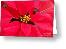 Brightest Red Poinsettia Greeting Card