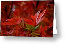 Brilliant Red Maples Greeting Card by Linda Unger