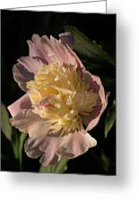 Brilliant Spring Sunshine - A Showy Pink Peony From My Garden Greeting Card