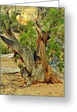 Bristlecone 1 Greeting Card