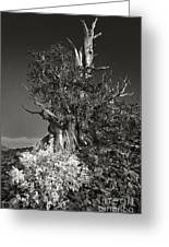 Bristlecone And Wildflowers In Black And White Greeting Card