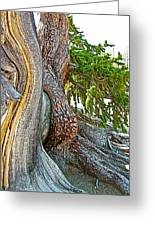 Bristlecone Pine On Ramparts Trail In Cedar Breaks National Monument-utah  Greeting Card